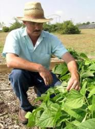UGA Extension consumer horticulturist Bob Westerfield checks bean plants for signs of disease and insects on the UGA campus in Griffin. Westerfield grows vegetables at work to be prepared to answer home gardener questions.